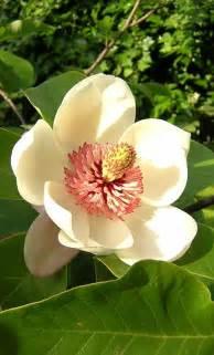 file magnolia wieseneri jpg wikipedia