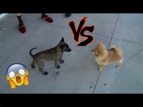 logan paul puppy apollo vs kong fight doovi