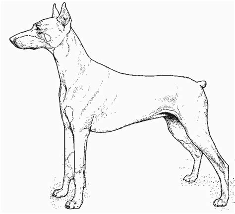 how to draw a doberman coloring pages
