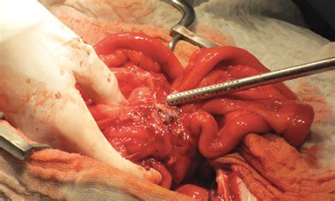pancreatitis in yorkies canine pancreatitis clinician s brief