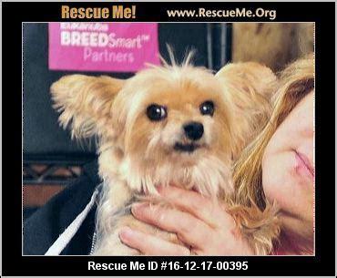 oregon yorkie rescue oregon yorkie rescue adoptions rescueme org