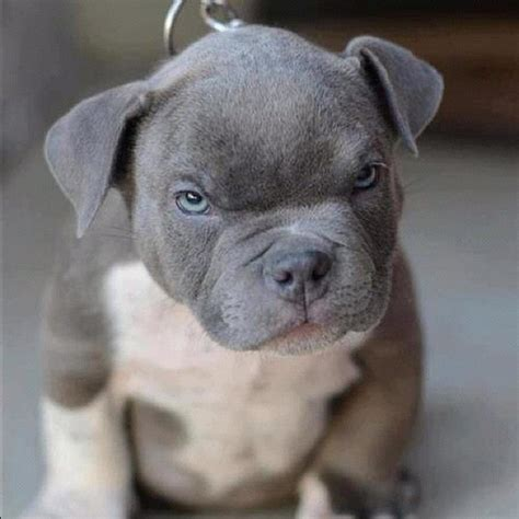 grey pitbull puppy the puppy pitbull grey dogs breed animals instagood