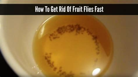 how to get rid of gnats in backyard how to get rid of fruit flies fast homestead survival