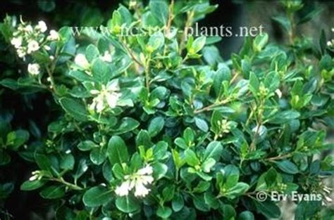 escallonia rubra evergreen zone 8 10 sun to partial shade moist well drained soil 10 15