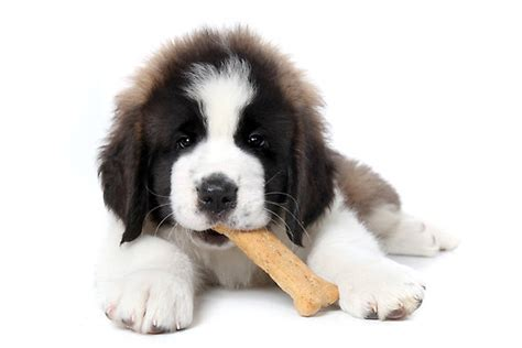 puppy eats dogs dying after treats made in china 183 guardian liberty voice