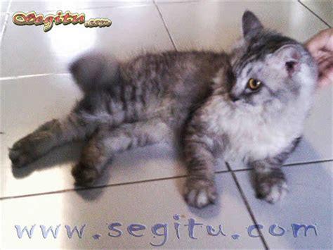 Harga Makanan Kelinci Himalayan kucing anggora tiger segitu petshop