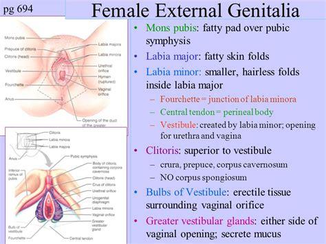 mons pubis external female genitalia mons pubis anatomy reproductive