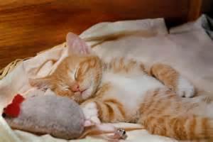 Sleeping Orange Cat cutest butchy mouse orange tabby kitten sleeping by