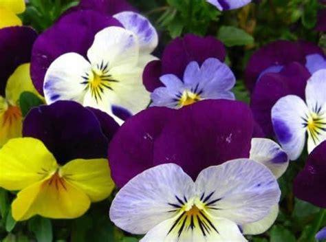 fiore compleanno fiore di compleanno per il mese di marzo significato