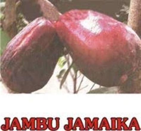 Harga Bibit Jambu Air Jamaika bibit buah unggul termurah