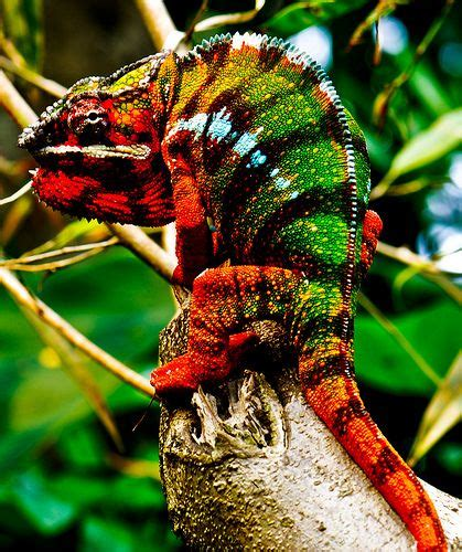 colorful lizard 17 best ideas about colorful lizards on