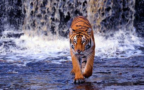 tiger walking  water hd animals wallpapers