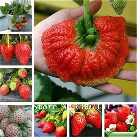 Benih Biji Buah Strawberry Besar taman b beli murah taman b lots from china taman b