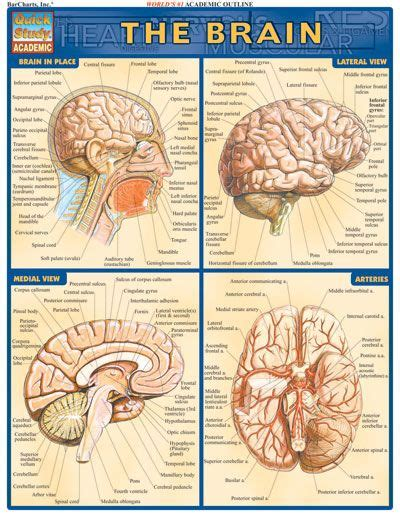 different sections of the brain brain quickstudy 174 complete labeled illustrations of the