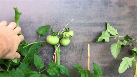basilikum standort garten tomaten standort balkon garten unterschied