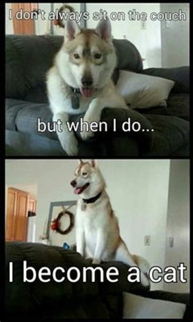 Funny Husky Memes - husky memes funny huskies pinterest