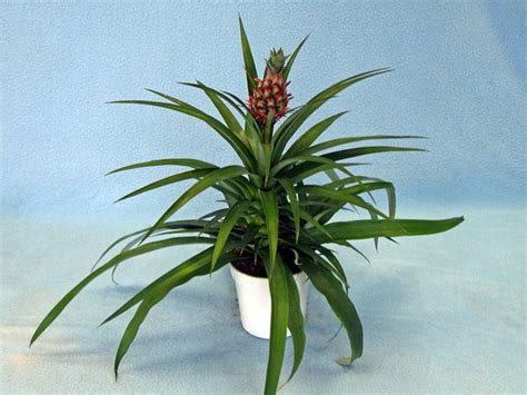 Nice Home Decorating Ideas pineapple plants in a flower pot a small pineapple