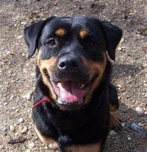 rottweiler 1 year 1 year rottweiler for adoption