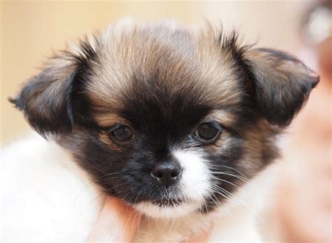 haired chihuahua and shih tzu mix shih tzu chihuahua mix dogable