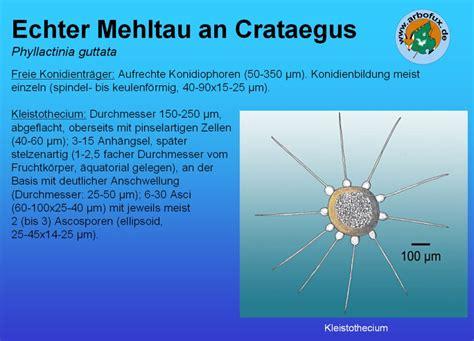 Mehltau An Weinreben 2694 by Mehltau An Weinreben Wein Krankheiten An Weinreben