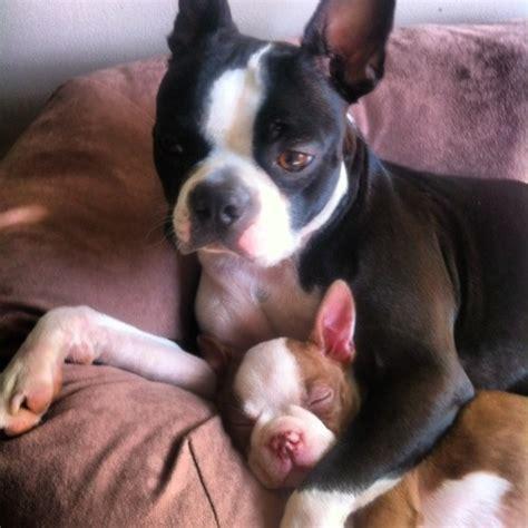 boston terrier puppies maine best 20 boston terriers ideas on boston terrier pups boston terrier