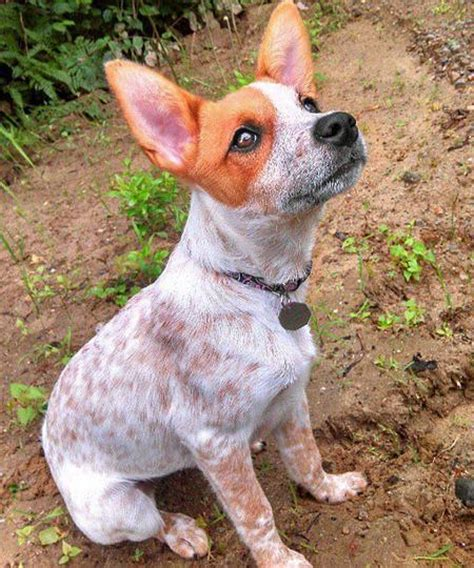 cattle mix border collie blue heeler and terrier mix breeds picture