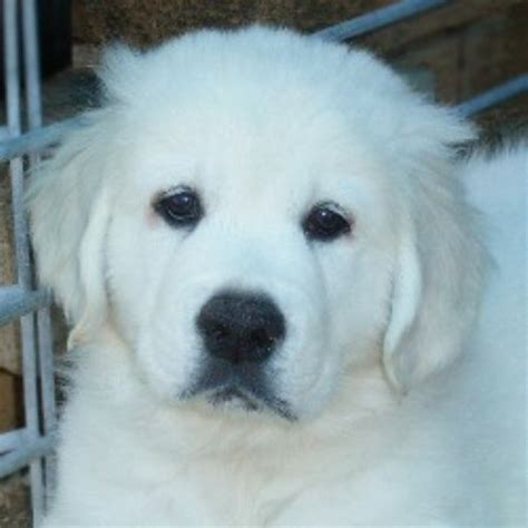 golden retriever rescue of illinois golden retriever breeders in illinois freedoglistings