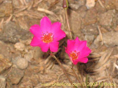 Setrika Miyako El 1019 Sp description and images of calandrinia sp 1019 1019 a