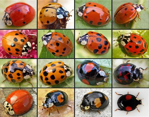 colors of ladybugs what to do when ladybugs make your home theirs
