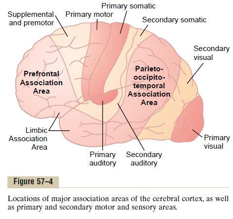 motor association cortex function impremedia net