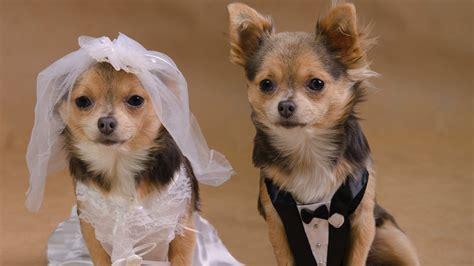puppy wedding puppy wedding cost more than 150k animal