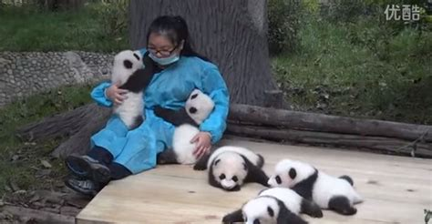 Free Hugs Panda best this hugs baby pandas and gets paid