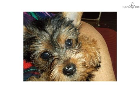yorkie for sale maryland yorkie terrier for sale in maryland