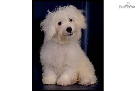 havanese mix breeds havanese puppy for sale near mcallen edinburg bfc95439 2f01
