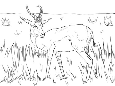 coloring pages springbok realistic springbok coloring page supercoloring