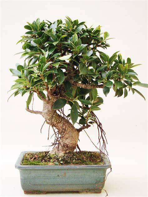 ficus fi13 1 genki bonsai - Genki Bonsai