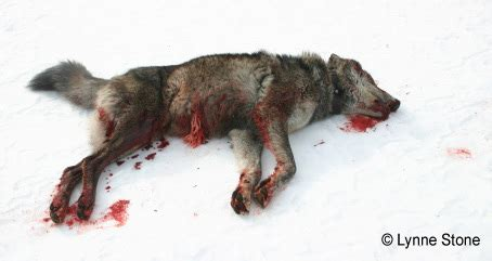 Two-Day Holiday Killing 'Derby' in Idaho Targets Wolves ...