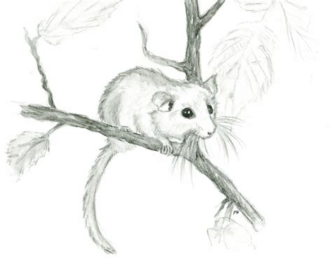 In Dormouse Drawing by Hazel Dormouse By Montieze On Deviantart