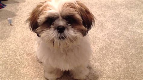 shih tzu tongue sticking out cooper sticking his tongue out part 2