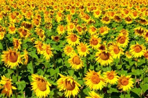 sunflowers wallpapers  android iphone  ipad