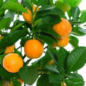 bloomsz  year  larger orange tree  nursery pot