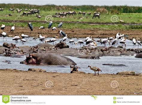 hippo pool royalty free stock photos image 8425918