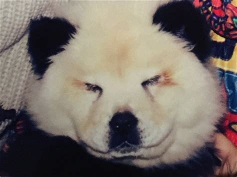 chow chow panda puppies panda italian circus disguised chow chow puppies as bears