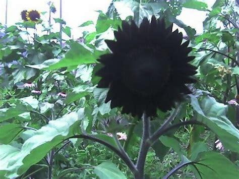 black sunflowers t minus 3 days at life in albuquerque
