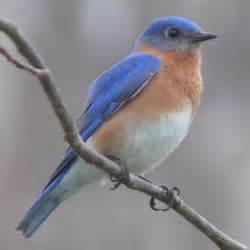 file eastern bluebird 27527 2 jpg wikipedia