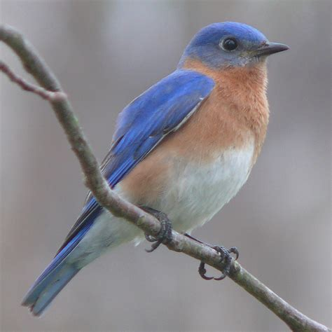 Attract Bluebirds Your Backyard by Attracting Birds To Your Backyard Infobarrel