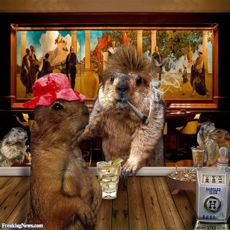 groundhog day bar groundhogs in a bar pictures freaking news