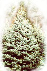 cut your own christmas trees eby s evergreen plantation