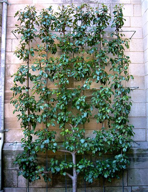 espaliered pear tree flickr photo sharing