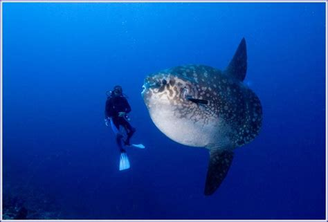 giant mola mola fishpet  gallery fish pet  galleryqbwrzkro